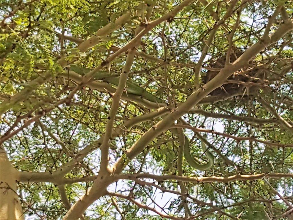 Green Mamba lying in Acacia tree in Hawaan Forest uMhlanga Rocks