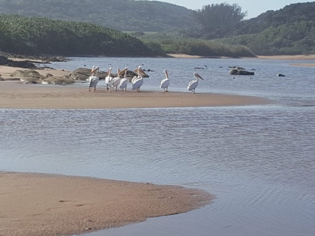 Pelicans at uMhlanga Lagoon